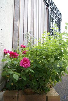 Site Archéologique, Gardens, Rose Bush, Roman, Botany, Plant