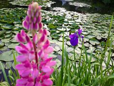 I did NOT plant this pink hottie! Lupine at Stonehouse Farm, Maine