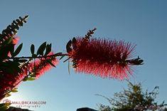 Callistemon es un género de árboles y arbustos de la familia Myrtaceae, llamado comúnmente limpiatubos o limpiabotellas por la forma de su inflorescencia. Conocido también como calistemo Chrysanthemum, Callistemon, Natural, Dandelion, Plants, Trees And Shrubs, Flowers, Dandelions, Plant