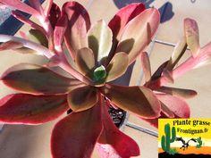 Echeveria PGF30 x fimbriata pallida