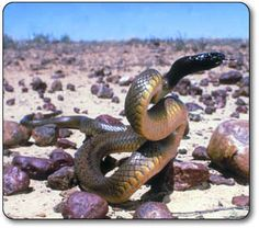 "#2. Most of the most deadly snakes in the world. This is the Inland Taipan - world's most venomous snake, found only in Australia. ""Its venom is 200-400 times more toxic than most rattlesnakes and 50 times as toxic as a cobra."""