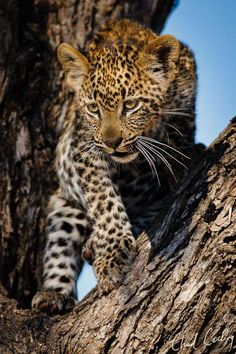 A leopard cub contemplates how to get down tree to its mom. by Chad Cocking on Small Wild Cats, Big Cats, Cool Cats, Cats And Kittens, Nature Animals, Animals And Pets, Baby Animals, Cute Animals, Pretty Cats
