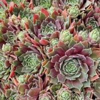 Sempervivum Irazu - Spring Colors