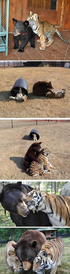 Lion, Tiger and Bear live together after being rescued from drug dealer!