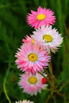 Rhodanthe sp (Paper Daisies) by Kenneth Er, via Flickr