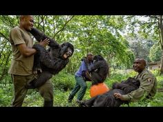 National Geographic: Young Orphaned Gorillas: See Their Adorable Bond With Park Rangers