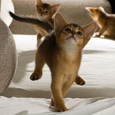 Abyssinian Kittens Little stinkers! Baby Animals, Funny Animals, Cute Animals, Animal Memes, Pretty Cats, Beautiful Cats, Beautiful Babies, Kittens Cutest, Cats And Kittens