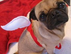 fiona will be a pugasus. a winged pug for halloween and this is her costume.