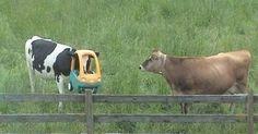 Essa vaca que esqueceu de como faz para dirigir. | 19 vacas que não sabem mais como ser vacas