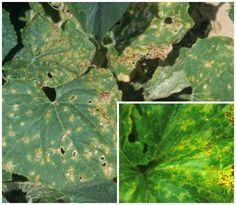 желтые пятна на листьях огурца бактериоз огурца