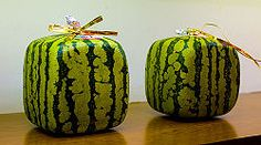 Grow a square watermelon ~ how fun!