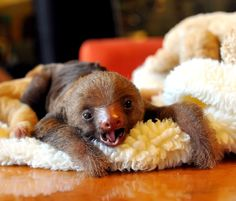 Oh good, here's a buoyant baby two-toed sloth! | This Year's 45 Most Lovable Baby Animal Pictures