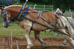 Draft horse team.  Now that's Horse Power! ♥♥♥