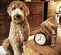 Hi, it's just me.  Indy the Goldendoodle
