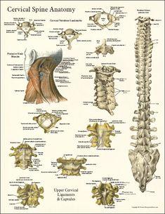 Cervical Spine Anatomy Poster