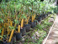 wikiHow to Propagate Bamboo -- via wikiHow.com