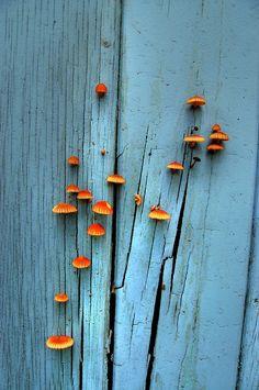orange mushroom, painted wood, the doors, trunk, orang, blue walls, blue doors, color, aqua