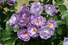 An exquisite new floribunda rose bush that smells of fresh violets in the garden! Blue For You rose is a repeat flowering compact sized rose that produces cheerful mauve blue blooms that age to a rich All Flowers, Pretty Flowers, British Rose, Rose Nursery, Fragrant Roses, Bush Plant, Fine Gardening, Planting Roses, Grow Organic