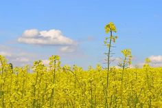 Daydreaming in a Yellow Field. Photography by Catherine Murton.