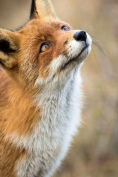 épinglé par ❃❀CM❁✿⊱Red Fox by Angela Louwe on The Animals, Nature Animals, Woodland Animals, Cute Baby Animals, Funny Animals, Beautiful Creatures, Animals Beautiful, Fuchs Baby, Fox Pictures