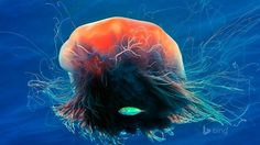 Lions Mane Jellyfish - Fondos de pantalla HD. Fondos de escritorio. Protectores de pantalla. Wallpapers HD. Fondos de pantalla.