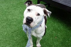 KEVIN - A1110377 - - Manhattan  TO BE DESTROYED 05/03/17 **ON PUBLIC LIST**  A volunteer writes: You know that intense guy in the group? The one you notice because he's so handsome, the one who watches as you approach, quiet, focused, and scopes you out before he makes his move? That's our Kevin! Watchful, quiet, maybe even a bit shy, when he's sure he'll give kisses and cuddles and tail wags, but not until he's sure. On leash he's a gem,