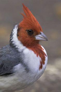 Cute Birds, Pretty Birds, Beautiful Birds, Exotic Birds, Colorful Birds, Bird Identification, Cardinal Birds, Bird Pictures, Little Birds