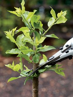 Small Fruit Trees with This Pruning Method - Organic Gardening Keeping fruit trees small by pruning methods!Keeping fruit trees small by pruning methods! Espalier Fruit Trees, Potted Trees, Trees And Shrubs, Grafting Fruit Trees, Grafting Plants, Small Fruit Trees, Dwarf Fruit Trees, Organic Fruit Trees, Prune Fruit