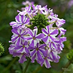 Get detailed growing information on this plant and hundreds more in BHG's Plant Encyclopedia.