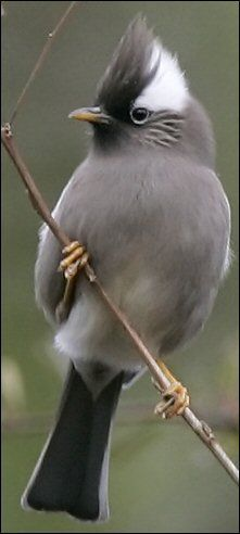 White-collared yuhina (Yuhina diademata) is a bird species in the white-eye family Zosteropidae.