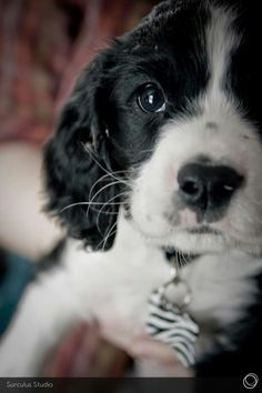 English Springer Spaniel puppy! Photograph by Surculus Studio. ... English Springer Spaniel Training: http://tipsfordogs.info/90dogtrainingtips/