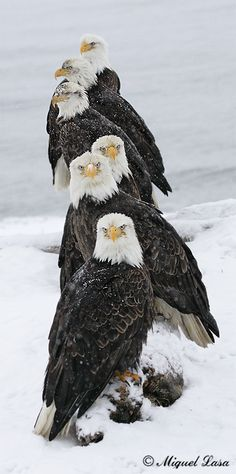 Alasks pose de aguilas calvas americanas salvajes ,  un saludo a todos