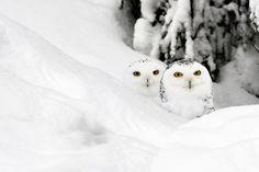 Cute little snow owls by Lukashev D.