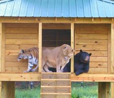 Three Brothers Haven't Left Each Other's Side For 15 Years: At Noah's Ark Animal Sanctuary (NAAS) in Locust Grove, Georgia, an American black bear, an African lion and a Bengal tiger have spent 15 years together in peace and harmony.