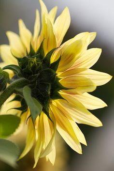 """""""Keep your face to the sunshine and you cannot see the shadow. It's what sunflowers do."""" ~ Helen Keller by johnshlau*"""