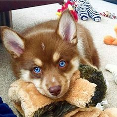 How is Cute? 🐶 🐶Picture by© : @Theo_The_Pomsky Tag your friends 😊 👇 👇 👇 @xanmls