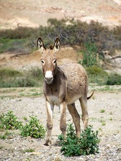 Cape Verde - Donkey usually found on the island of Fogo to transport water on its back with a rubber tyre #TeamCapeVerdean #TeamFunana