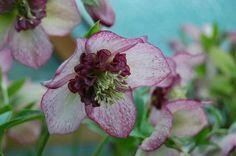Helleborus 'Cherry Blossom'