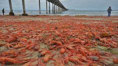 cotibluemos: Plaga de crutáceos  en playas de California