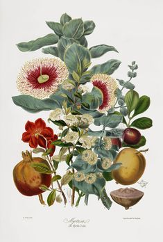 Elizabeth Twining Natural Order of Plants 1849 - Pomegranate