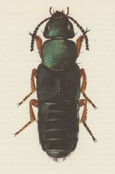 1964 Rove Beetle Staphylinus fulvipes Vintage Print by Craftissimo, €10.00