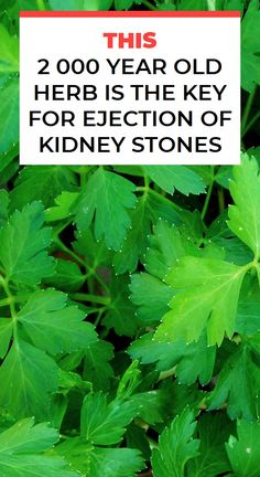 This 2 000 Year Old Herb Is The Key For Ejection Of Kidney Stones Natural Teething Remedies, Natural Cough Remedies, Cold Remedies, Natural Cures, Herbal Remedies, Health Remedies, Health Essay, Health Guru, Health Vitamins
