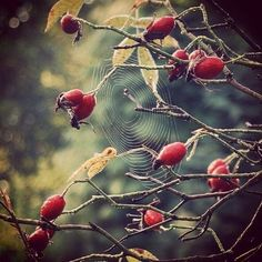 Beautiful video...perfect for a Sunday Morning....How to Make Rose Hip Tea // from Green Renaissance