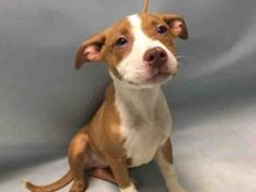 SPRING – A1077782  FEMALE, BROWN / WHITE, AM PIT BULL TER MIX, 4 mos STRAY – STRAY WAIT, HOLD FOR ID Reason NO TIME Intake condition UNSPECIFIE Intake Date 06/16/2016, From NY 10475, DueOut Date 06/19/2016, I came in with Group/Litter #K16-061798.