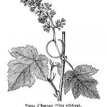 Illustration showing Grape Vine, a species of Vitis, native to the Mediterranean region, central Europe, and southwestern Asia. Botanical Art, Botanical Illustration, Illustration Art, Book Illustrations, Primula Auricula, Vine Tattoos, Cc Images, Delicate Tattoo, Old Books