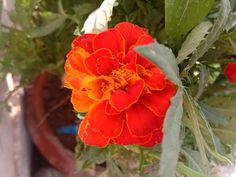 Red Marigold in balcony. Red Marigold in balcony. Red Marigold in balcony. Marigolds In Garden, Slugs In Garden, Hydrangea Garden, House Plant Care, House Plants, Perenial Garden, Annual Flowers, Gardening Books, Garden Care