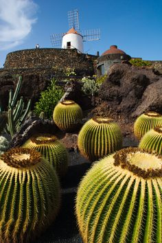 Jardín de cactus con Molino - Guatiza, Lanzarote Cactus Planta, Cactus Y Suculentas, Spanish Art, English Artists, Outside World, Cactus Art, Desert Plants, Canary Islands, Beautiful Places To Visit