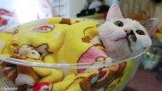 透明なボウルを猫のイスにすると03