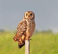 short-eared owl   Short-eared owl