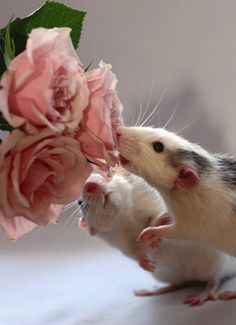 Cute ratties